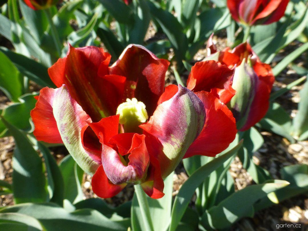 Tulipán Hollywood (Tulipa x hybrida)