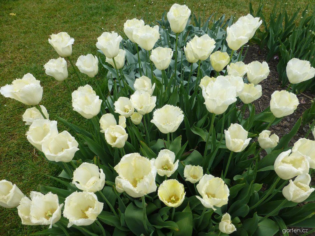 Tulipán Maja - Třepenité tulipány (Tulipa x hybrida)