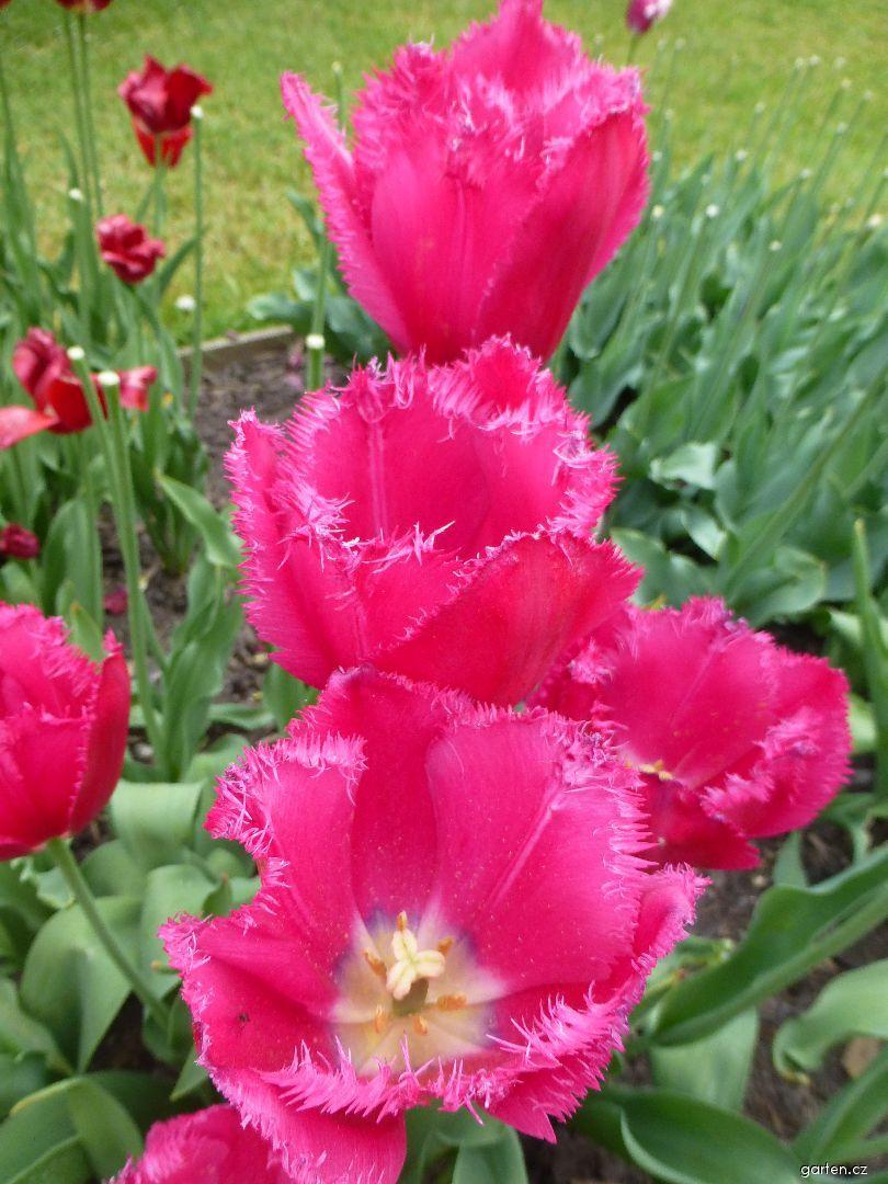 Tulipán Burgundy Lace - Třepenité tulipány (Tulipa x hybrida)