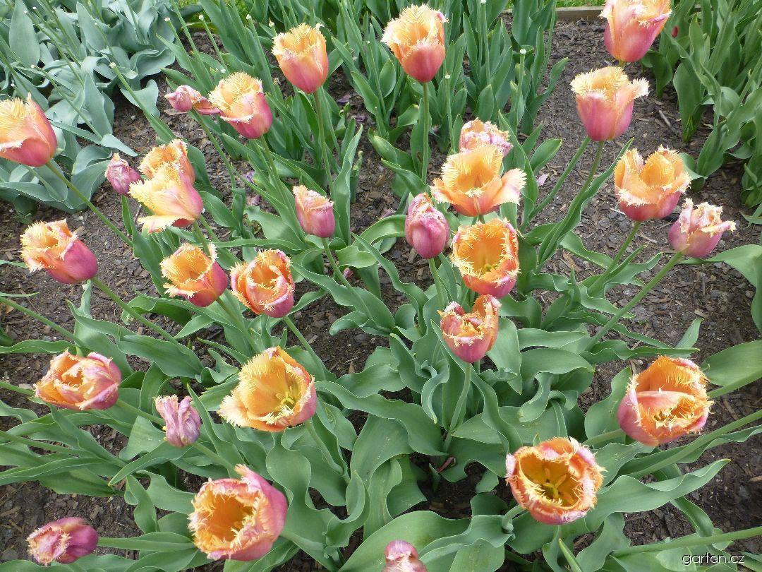 Tulipán Aleppo - Třepenité tulipány (Tulipa x hybrida)