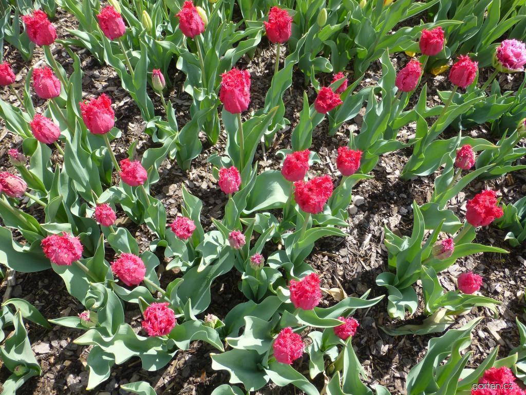 Tulipán Barbados - Třepenité tulipány (Tulipa x hybrida)