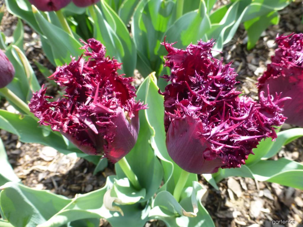 Tulipán Black Jewel - Třepenité tulipány (Tulipa x hybrida)