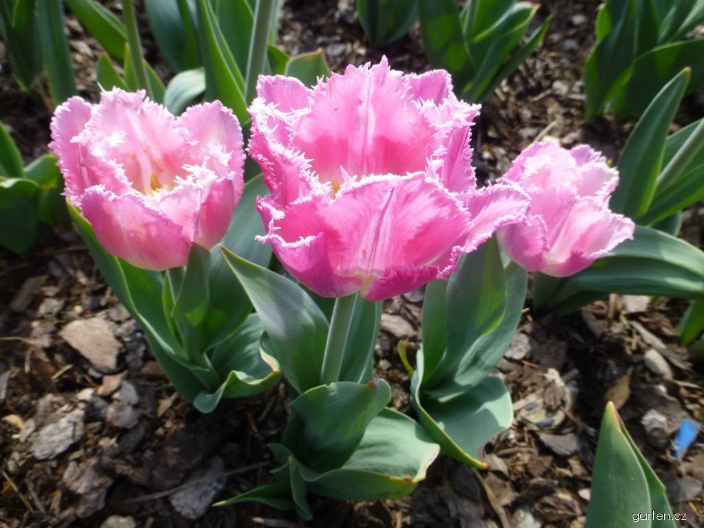 Tulipán Siesta - Třepenité tulipány (Tulipa x hybrida)
