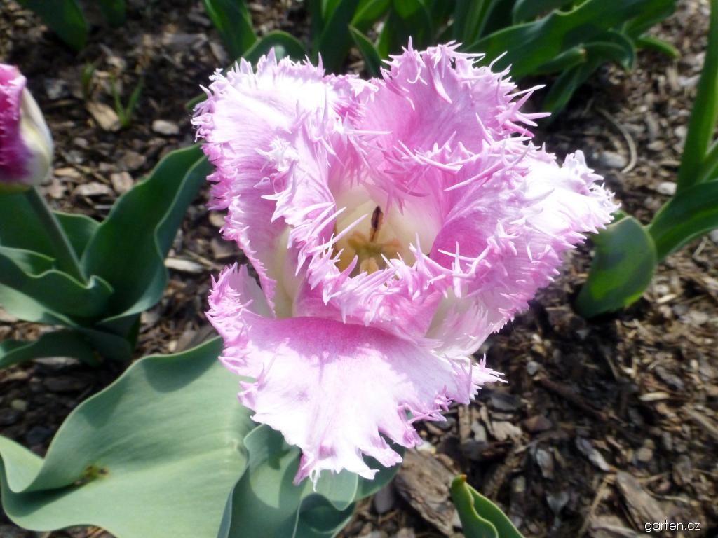 Tulipán Aria Card - Třepenité tulipány (Tulipa x hybrida)