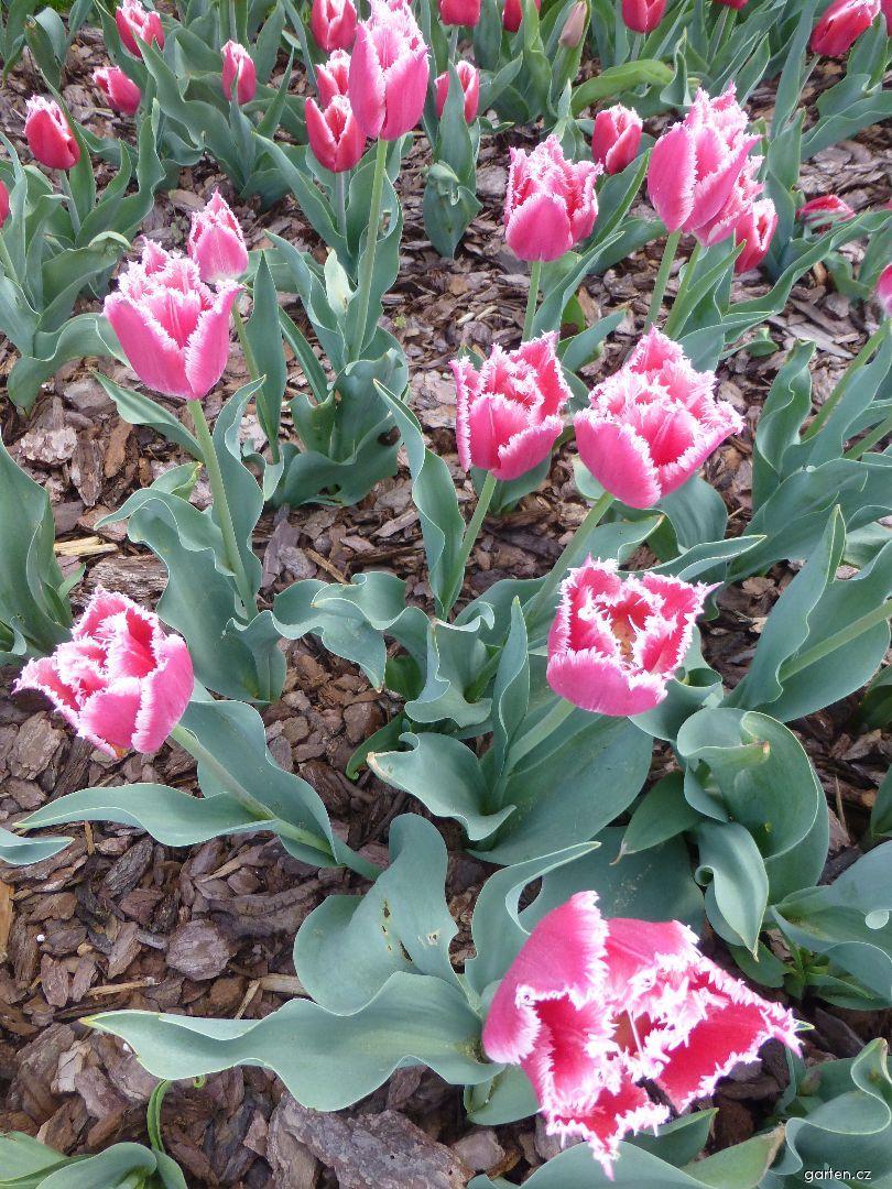 Tulipán Bell Song - Třepenité tulipány (Tulipa x hybrida)