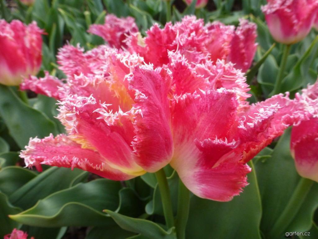 Tulipán Joint Division - Třepenité tulipány (Tulipa x hybrida)