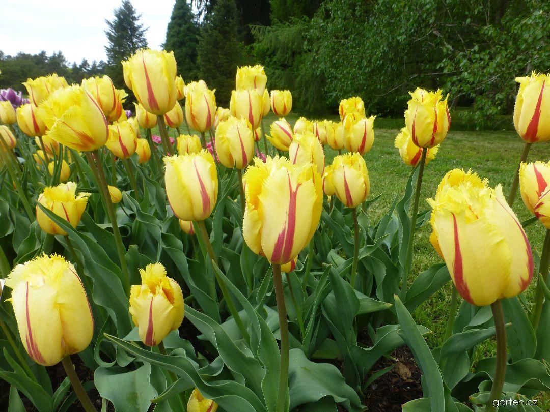 Tulipán Flamenco - Třepenité tulipány (Tulipa x hybrida)