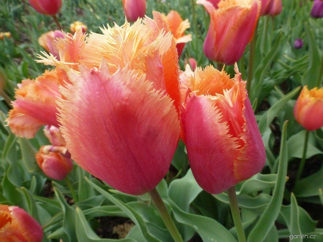 Tulipán Lambada - Třepenité tulipány (Tulipa x hybrida)