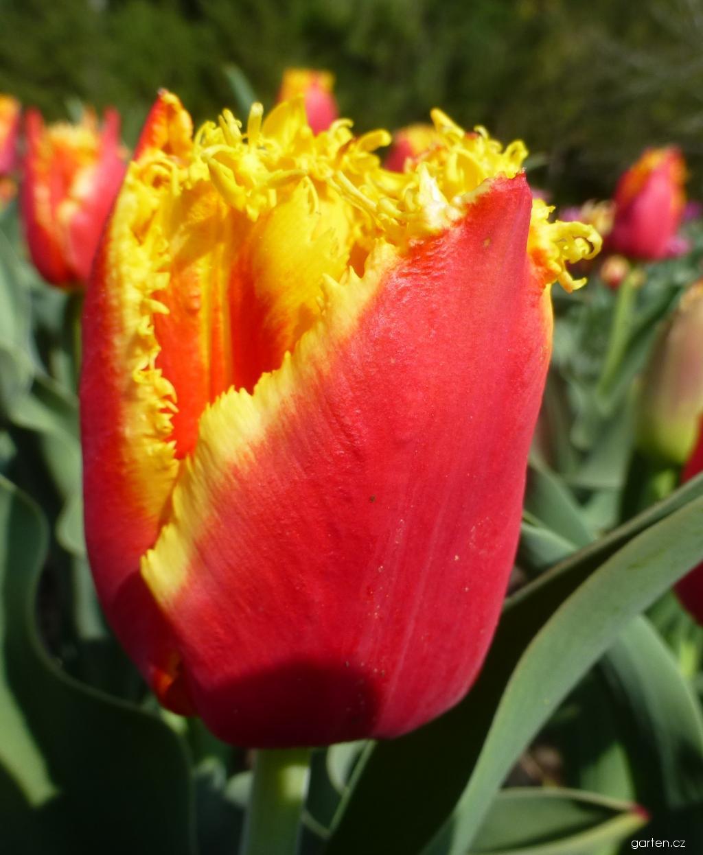 Tulipán Davenport - Třepenité tulipány (Tulipa x hybrida)