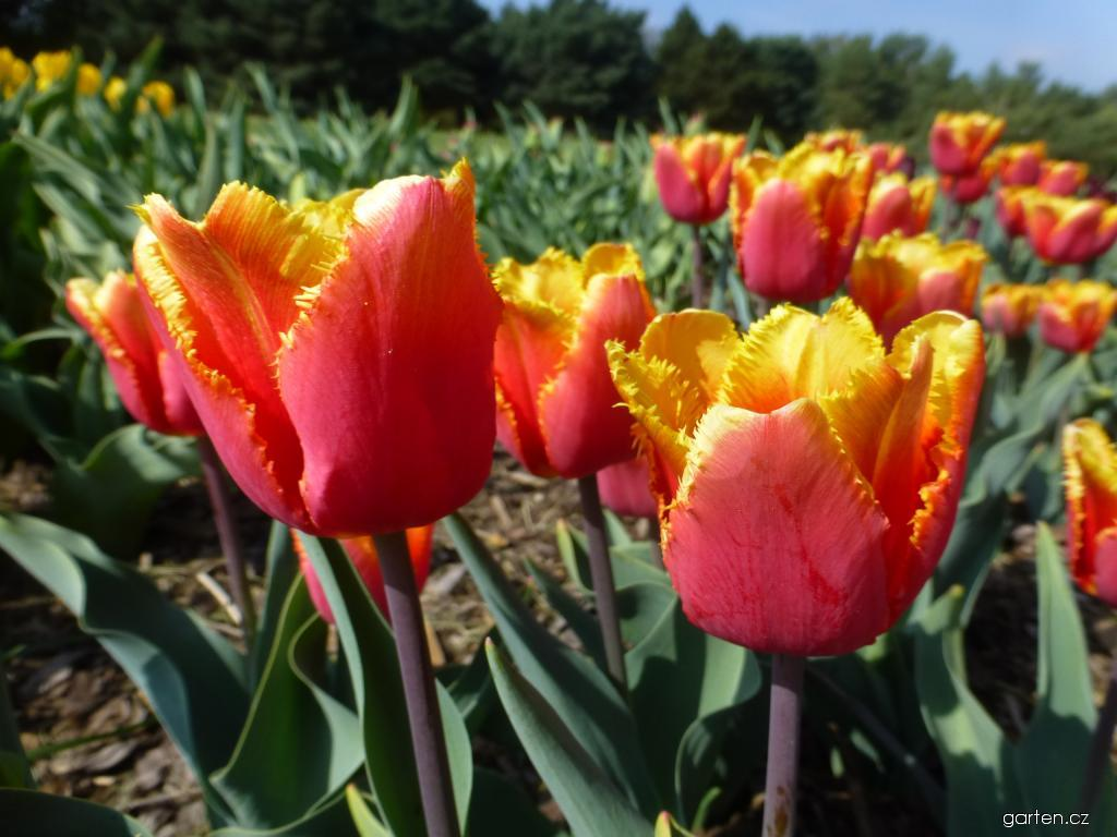 Tulipán Palmares - Třepenité tulipány (Tulipa x hybrida)