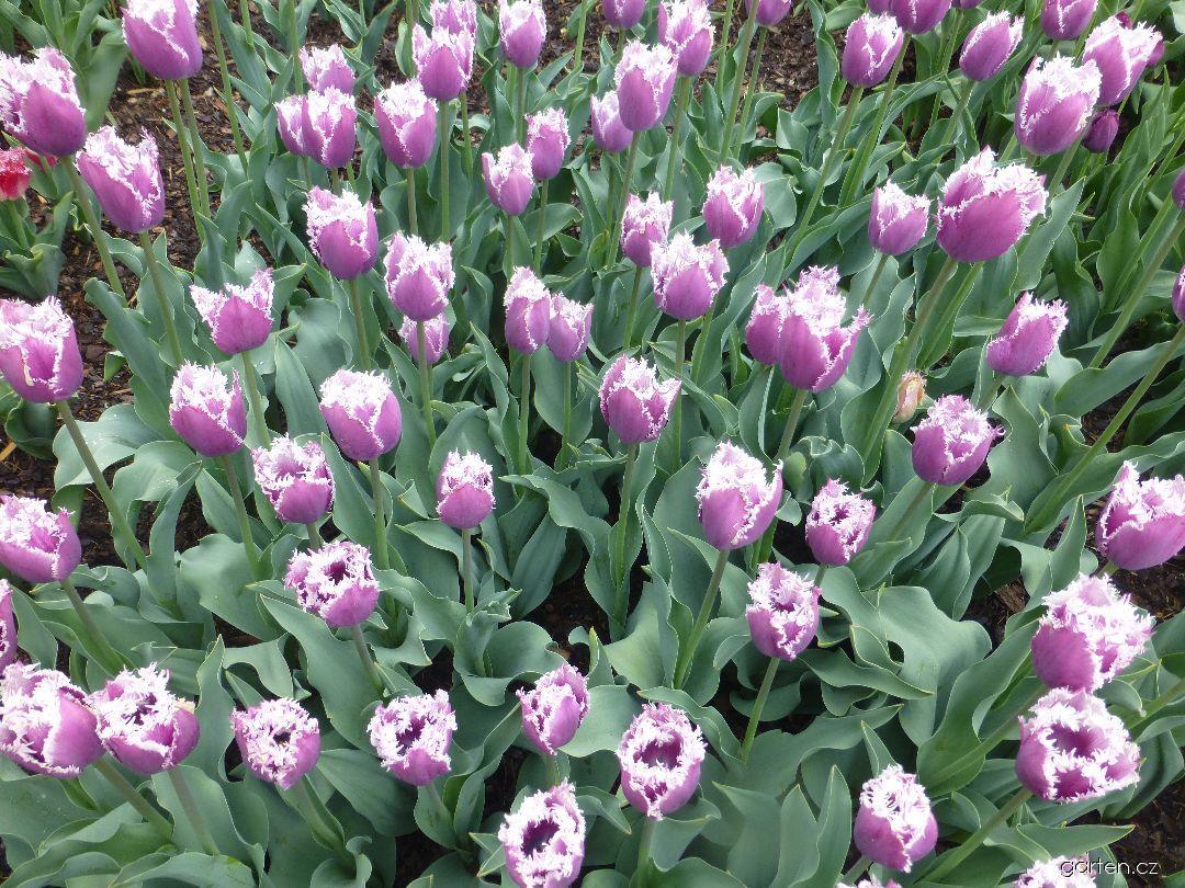 Tulipán Cummins - Třepenité tulipány (Tulipa x hybrida)