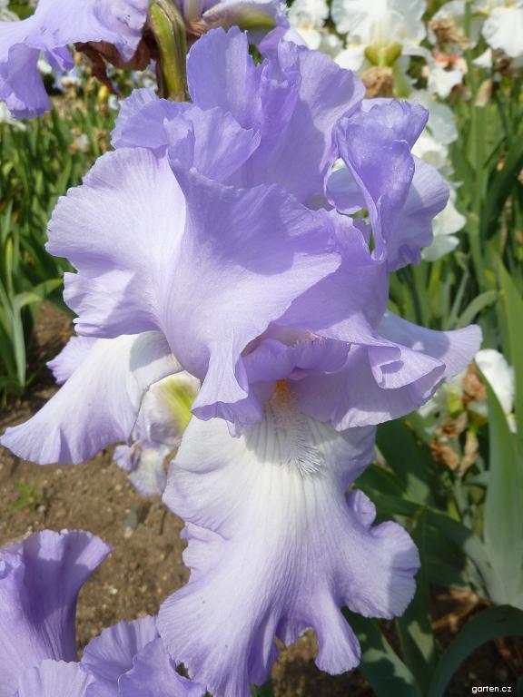 kosatec zahradní (Iris barbata)