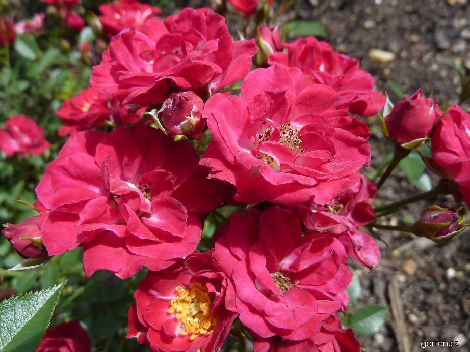 Růže - skupina miniaturní, květ (Rosa)