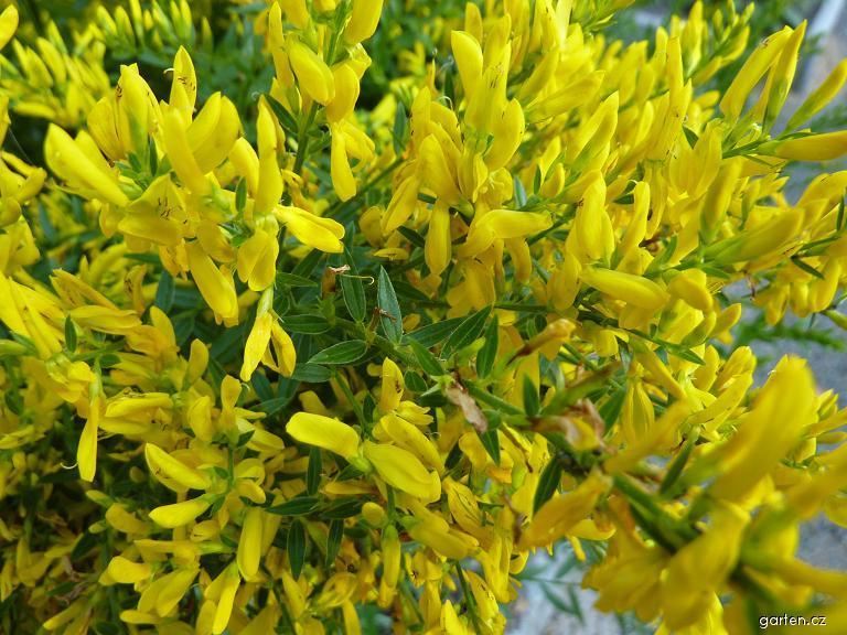Kručinka barvířská - květ (Genista tinctoria)
