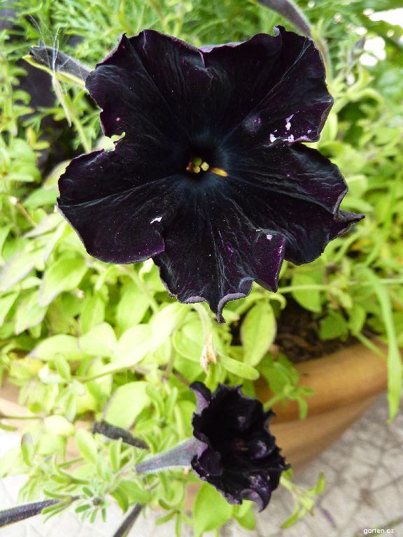 Petunie - květ (Petunia)