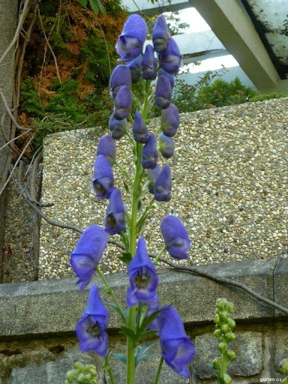 Oměj Carmichaelův - květ (Aconitum carmichaelii)