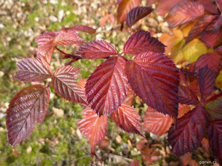 Ostružiník (Rubus)
