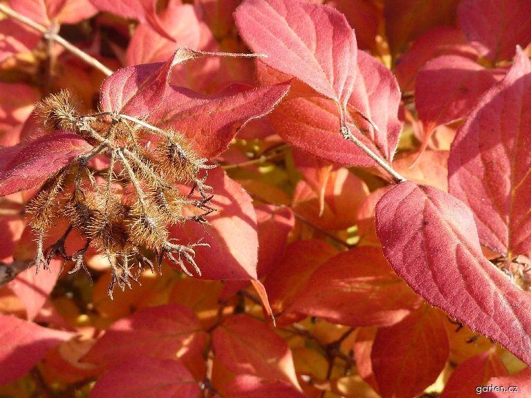 Kolkvicie krásná (Kolkwitzia amabilis)