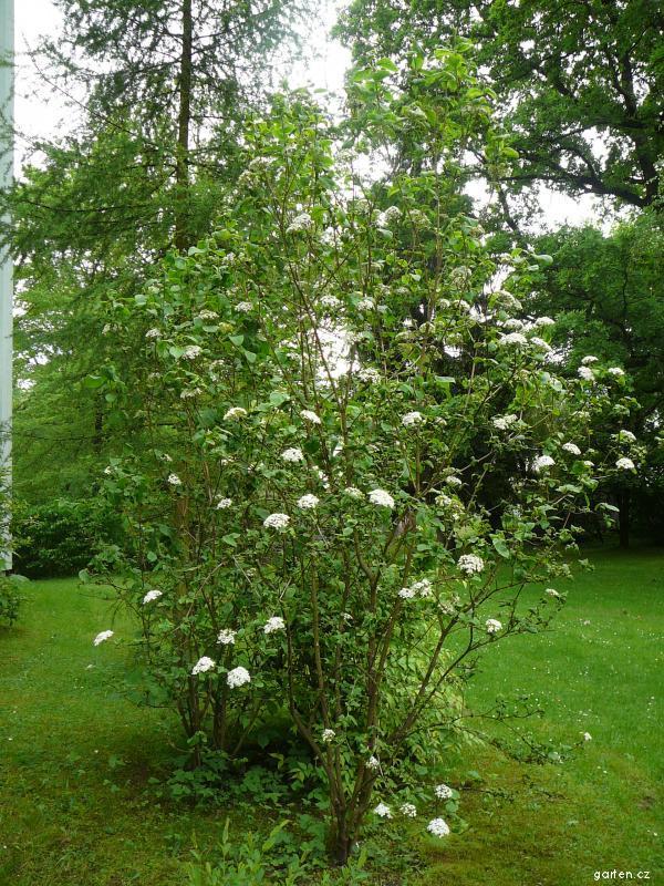 Kalina tušalaj (Viburnum lantana)