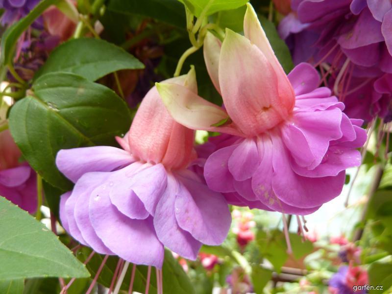 Fuchsie Cecile - květ (Fuchsia)