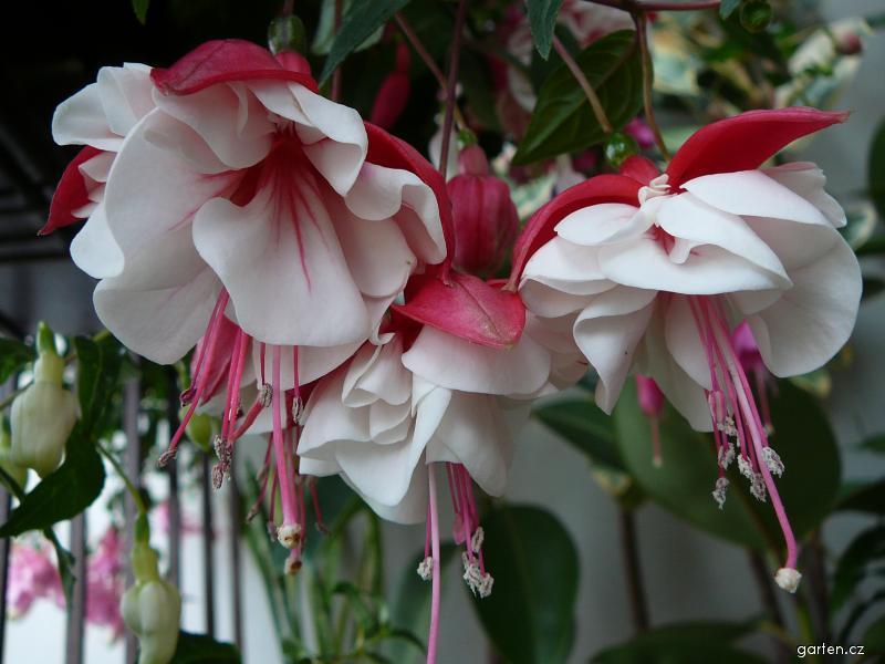 Fuchsie Swingtime - květ (Fuchsia)