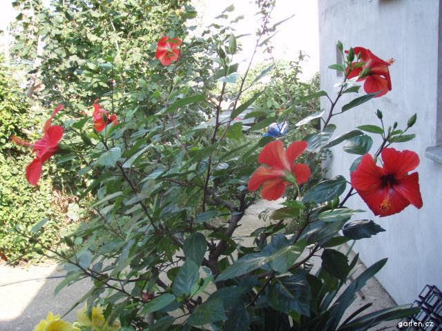Pokojový ibišek - září 2009 (Hibiscus)