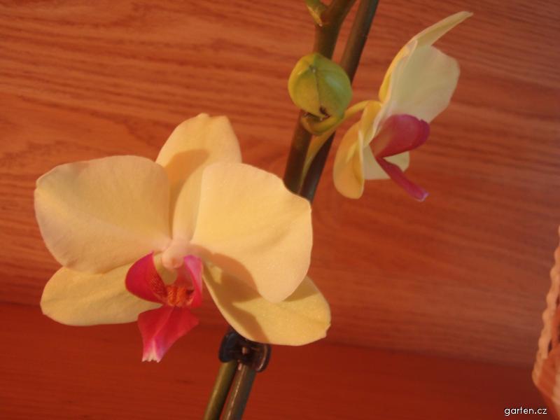 Orchideje 19. 2. 2011