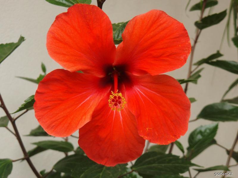 Ibišek pokojový - květ (Hibiskus)