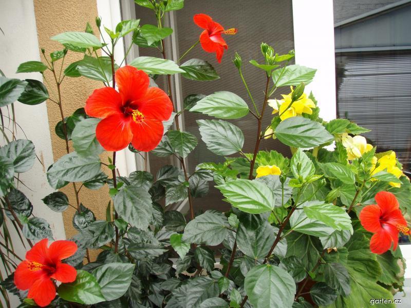 Ibišek pokojový (Hibiscus rosa sinensis)