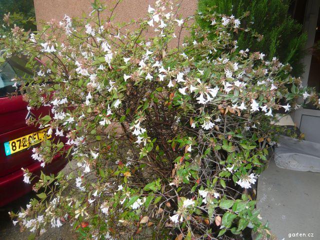 Abelie čínská (Abelia chinensis)