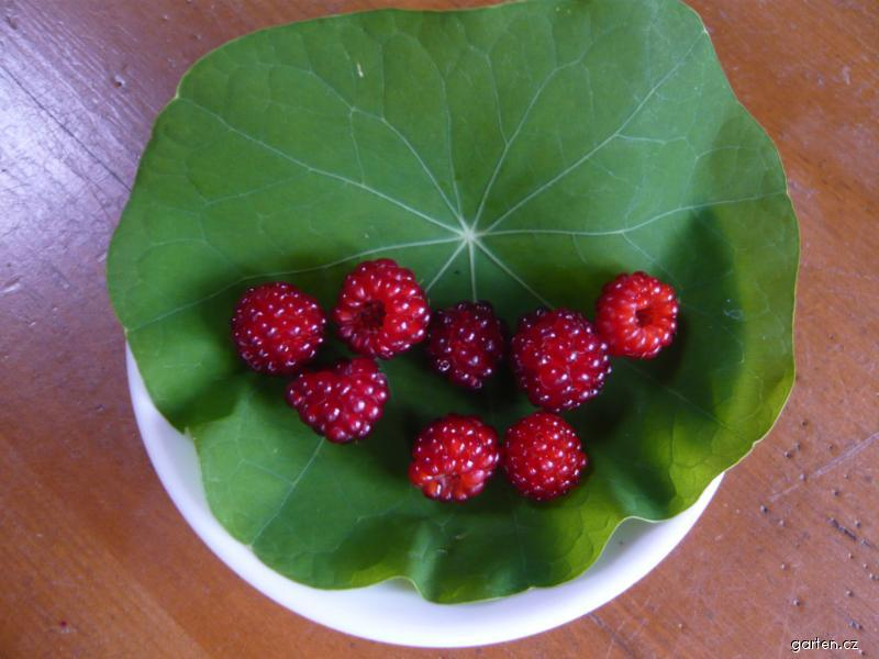 Ostružiník japonský (Rubus phoenicolasius)