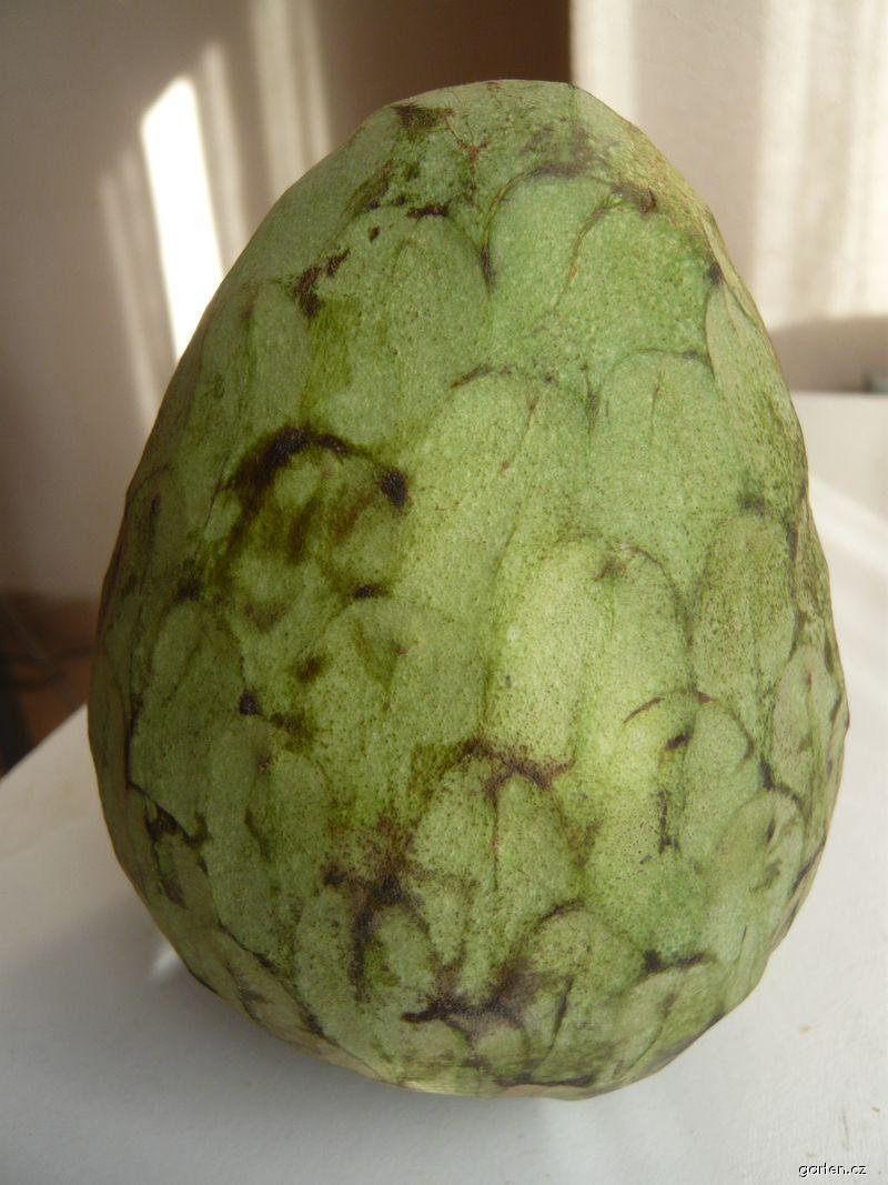 Anona šeroplodá, tropické ovoce (Annona cherimola)