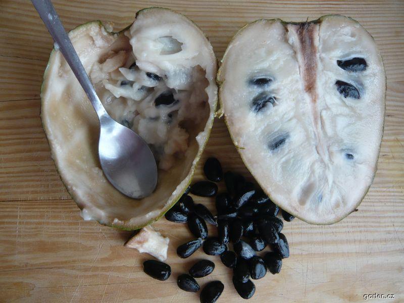 Anona šeroplodá, jak se jí tropické ovoce (Annona cherimola)