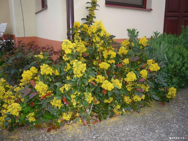 Mahonie cesmínolistá, květ (Mahonia aquifolium)