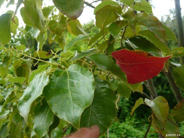 Kafrovník pravý (Cinnamomum camphora)