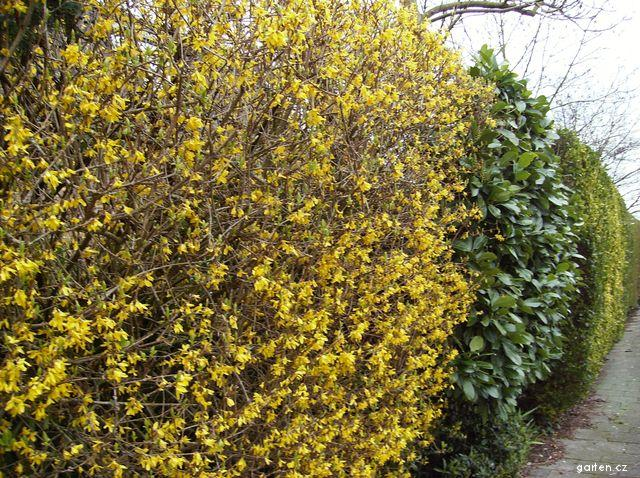 Zlatice - dál je bobkovišeň a úplně vzadu je Tůje (Forsythia x intermedia)