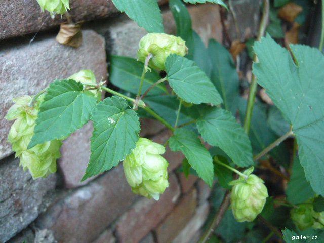 Chmel otáčivý - samiččí rostlina s plody (Humulus lupulus)