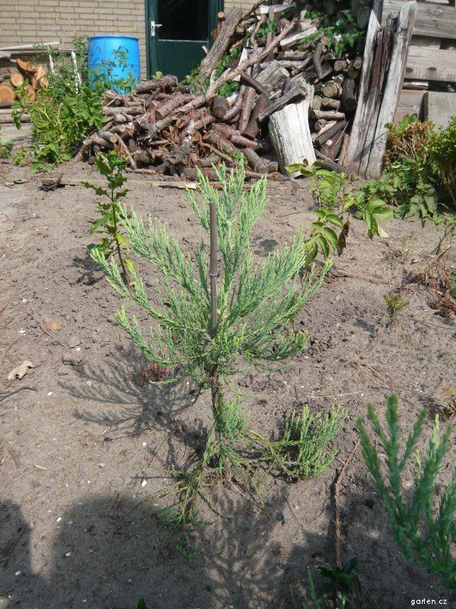 Sekvojovec obrovský, malý stromeček 2 o rok později (Sequoiadendron giganteum)