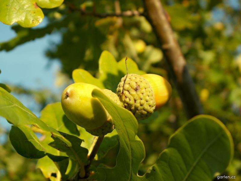 Dub - žalud (Quercus)