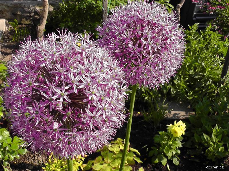 Česnek (Allium)