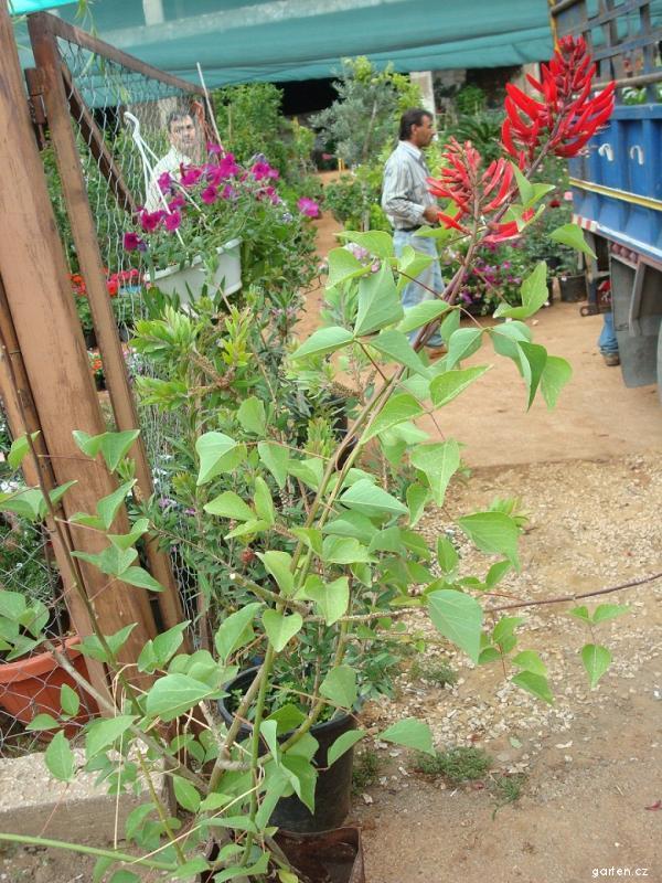 Zarděnice, Korálový strom (Erythrina bidwillii)