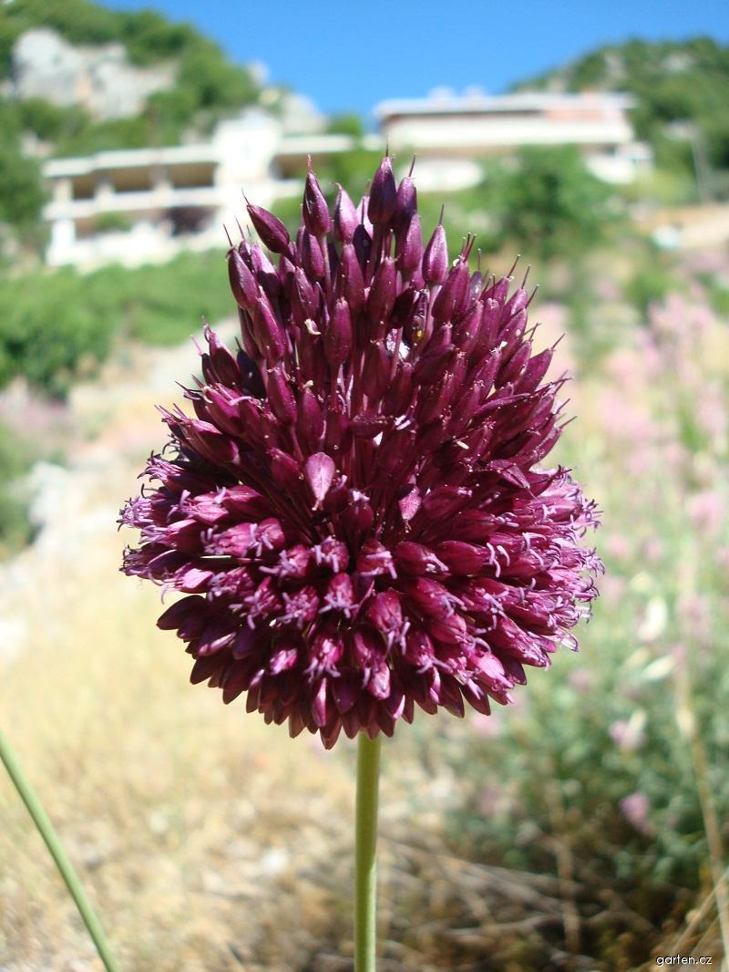 Allium (Allium ampeloprasum)
