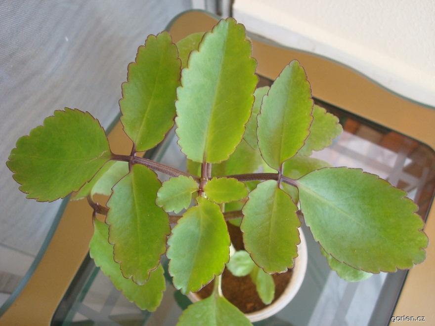 Kolopejka (Kalanchoe pinnata)