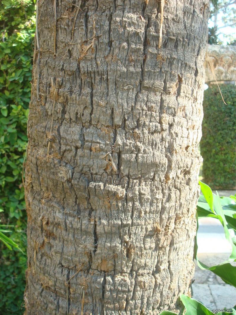 Palma (Livistona chinensis)