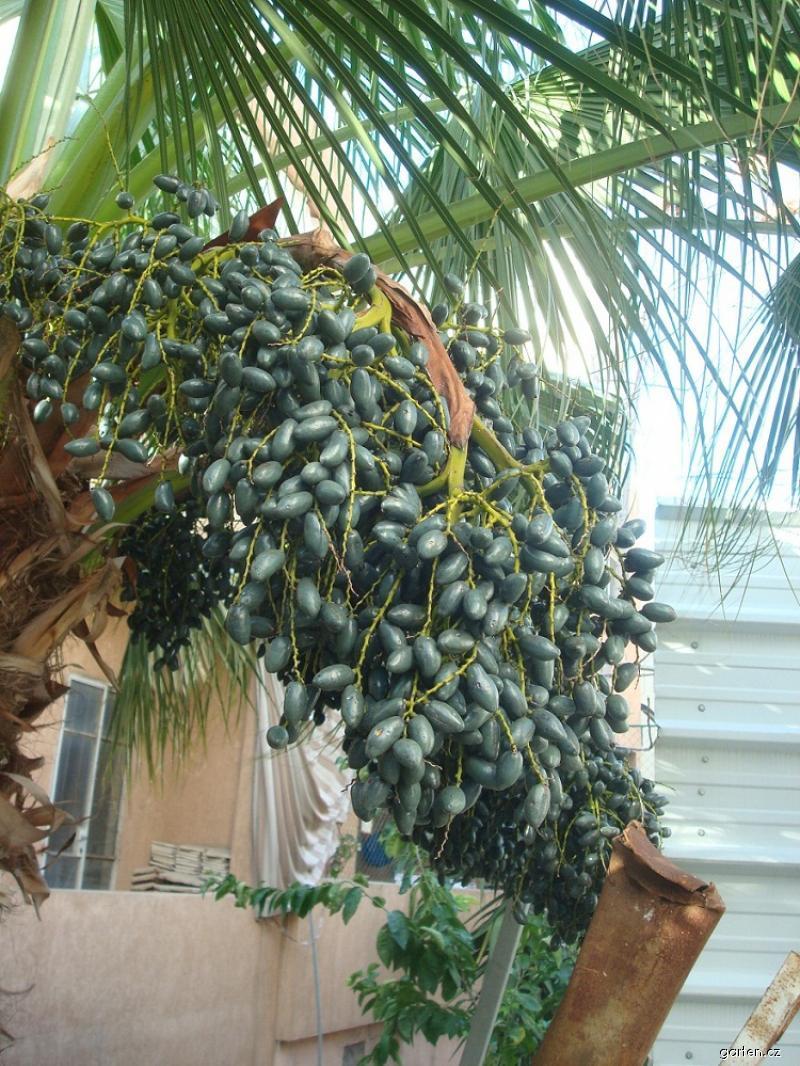 Palma - plody (Livistona chinensis)
