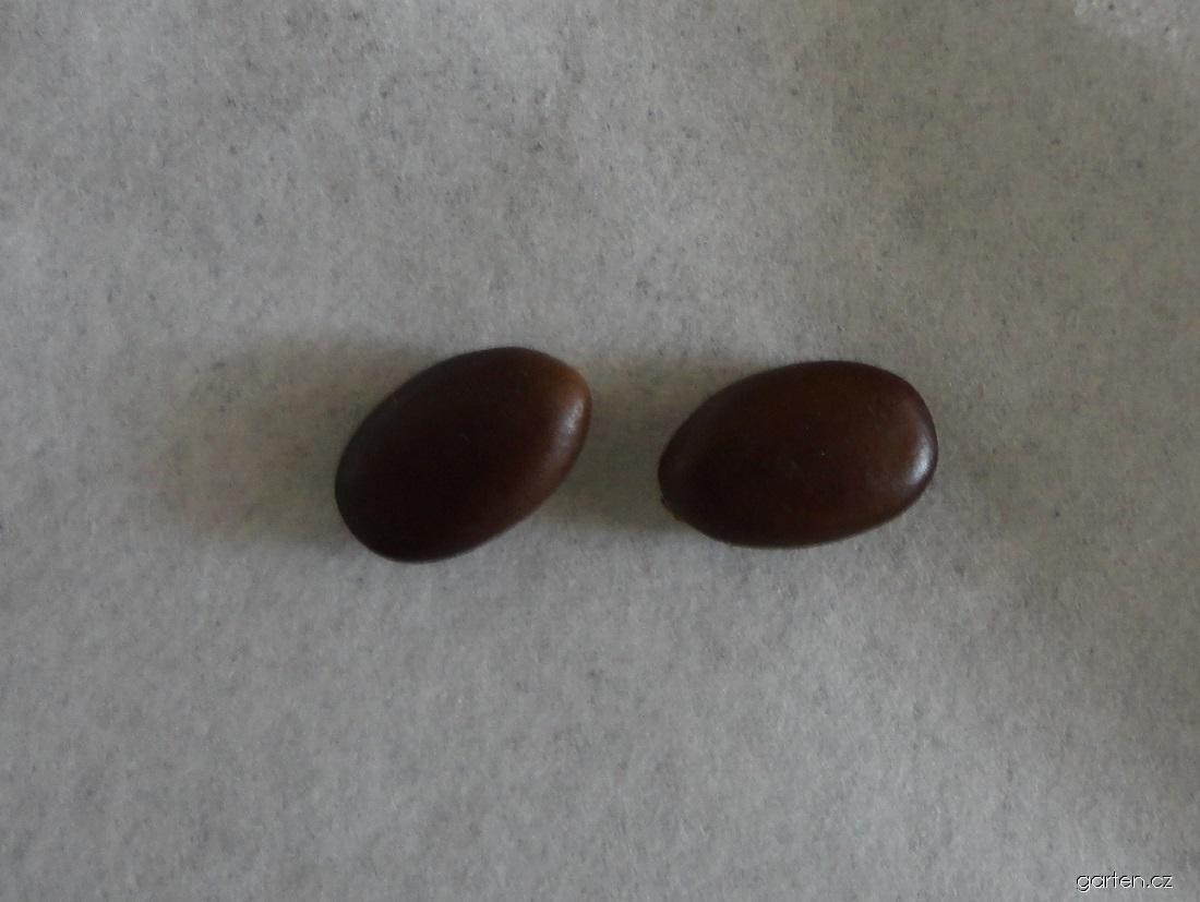 Dřezovec trojtrnný - semena (Gleditsia triacanthos)
