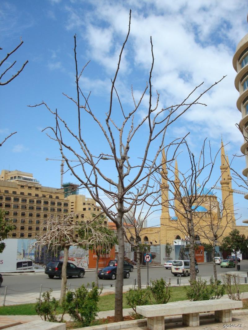 Dřezovec trojtrnný - silueta stromu bez listí (Gleditsia triacanthos)
