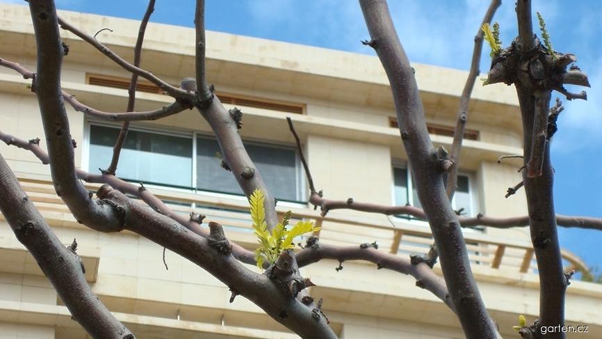 Dřezovec trojtrnný - větve (Gleditsia triacanthos)
