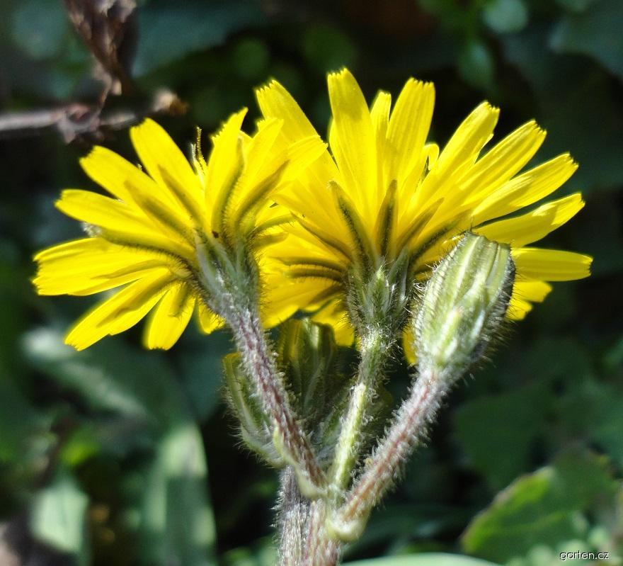 Crepis (Crepis sancta)