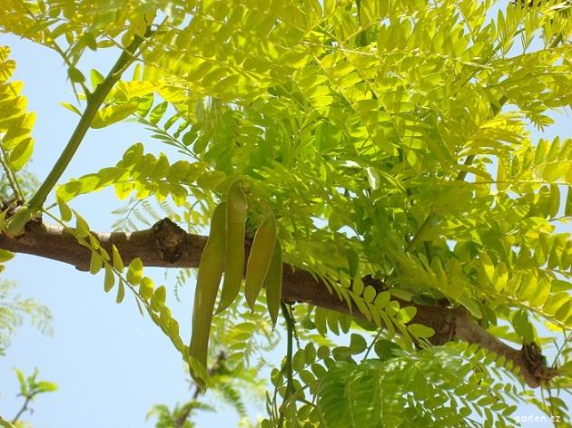 Dřezovec trojtrnný - lusky (Gleditsia triacanthos)